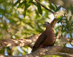 Beautiful Pigeon Puerto Rico