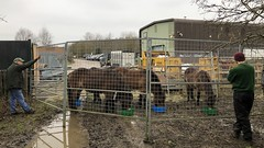 Rounding Up Ponies from Greenham and Crookham Common (c) A R Wallington 2020
