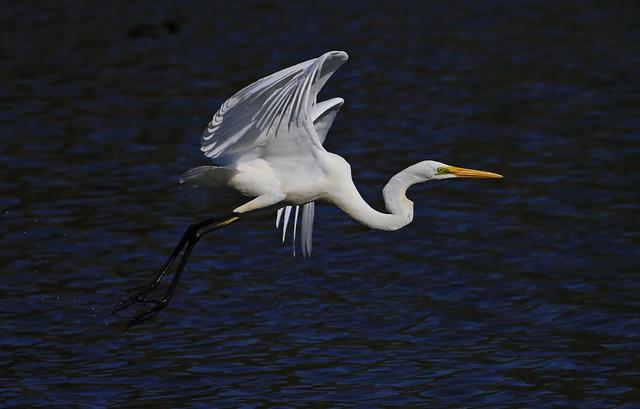Great Egret : In flight . . .