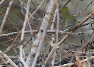 MacGillivray's Warbler (Geothlypis tolmiei) - Louisiana | by chrysoptera