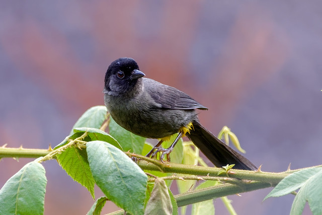 yellow-thighed finch ..Costa Rica