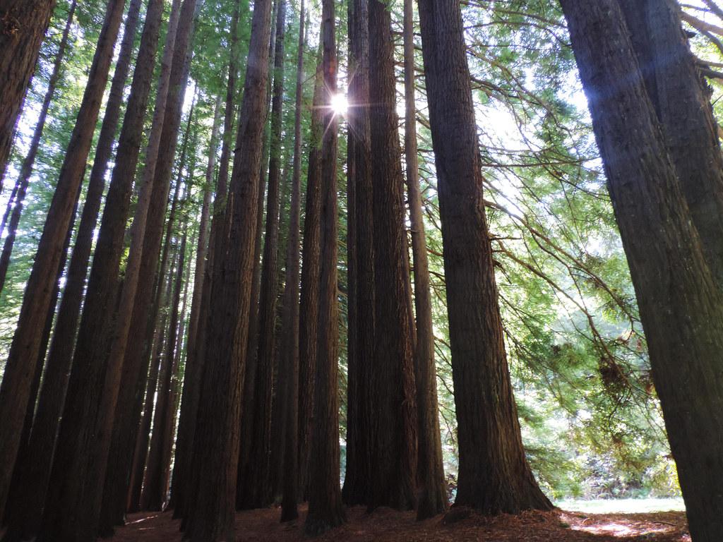 Short & Pretty Hikes In Great Otway: Californian Redwoods, Great Otway National Park, Victoria, Australia