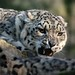 """<p><a href=""""https://www.flickr.com/people/furlined/"""">FurLined</a> posted a photo:</p>  <p><a href=""""https://www.flickr.com/photos/furlined/49625876806/"""" title=""""Snow Leopard""""><img src=""""https://live.staticflickr.com/65535/49625876806_466df1f48e_m.jpg"""" width=""""240"""" height=""""160"""" alt=""""Snow Leopard"""" /></a></p>  <p>At Marwell Zoo</p>"""