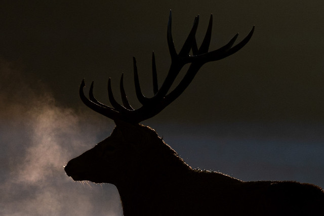 Red deer stag at dawn