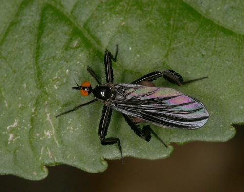 insect fly dipera empididae rhamphomyia rhamphomyialongicauda longtaileddancefly northcarolina piedmont canonef100mmf28macrousm fridayflyday inaturalist
