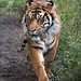 """<p><a href=""""https://www.flickr.com/people/furlined/"""">FurLined</a> posted a photo:</p>  <p><a href=""""https://www.flickr.com/photos/furlined/49626151077/"""" title=""""Tiger""""><img src=""""https://live.staticflickr.com/65535/49626151077_7371aa90c6_m.jpg"""" width=""""171"""" height=""""240"""" alt=""""Tiger"""" /></a></p>  <p>Sumatran tiger at London Zoo (I think he's called Asim)</p>"""