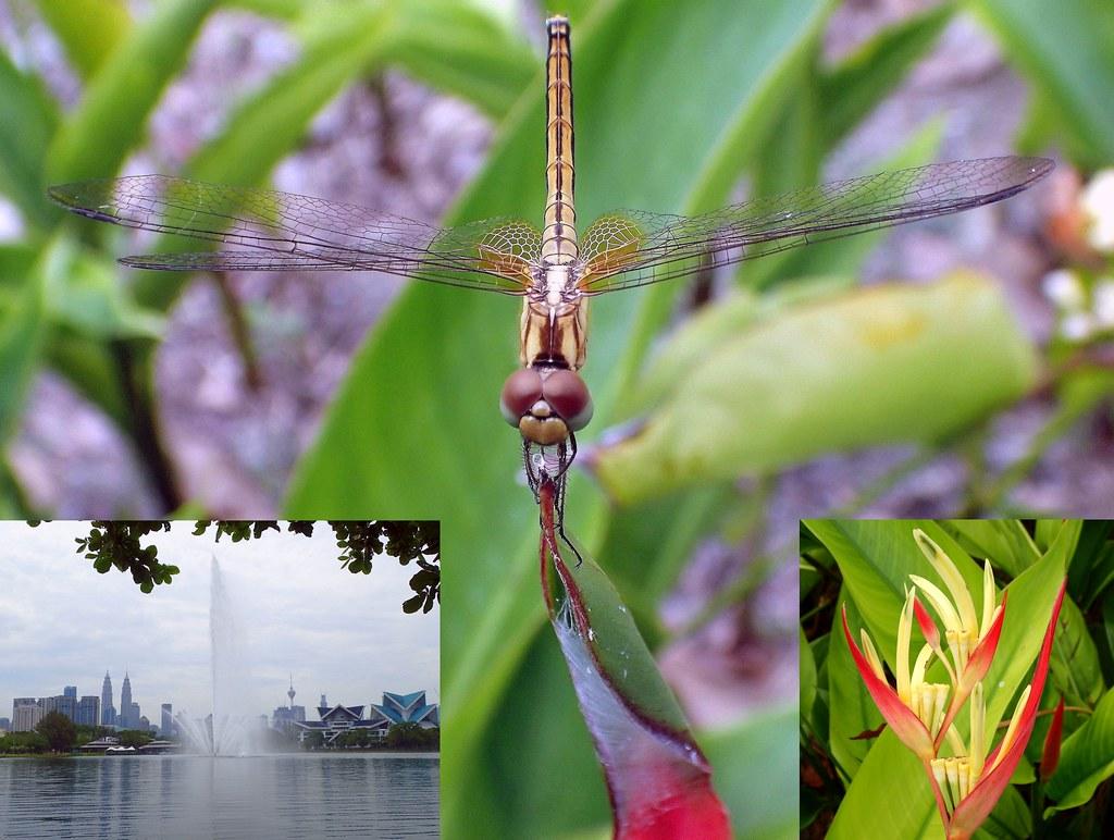 Draconian Aegis. Female Crimson Dropwing Dragonfly, Trithemis aurora, Heliconia psittacorum, Parrot's Beak Heliconia, Taman Tasik Titiwangsa, Kuala Lumpur, Malaysia