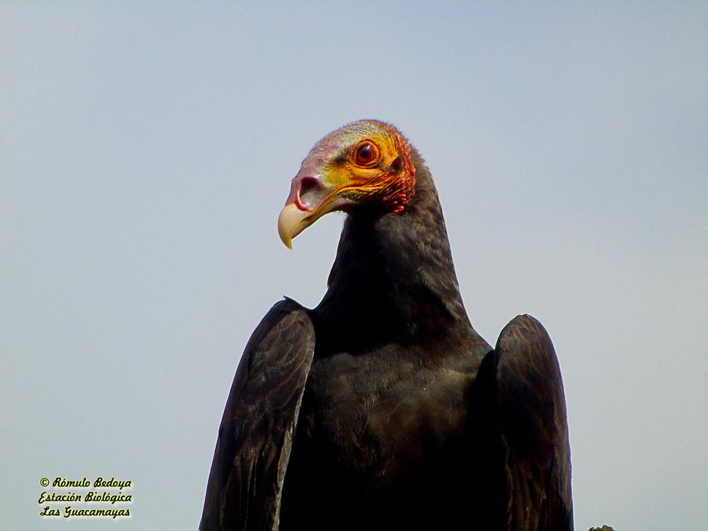 Lesser Yellow-headed Vulture (Cathartes burrovianus)