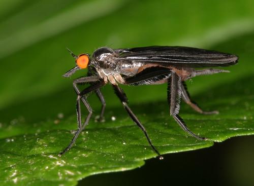 insect fly empididae rhamphomyia dipera northcarolina piedmont canonef100mmf28macrousm inaturalist fridayflyday rhamphomyialongicauda longtaileddancefly