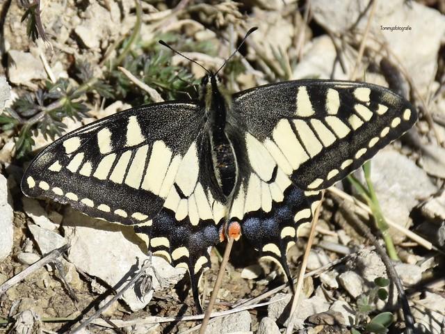 Papiio machaon, Schwallowtail butterfly, Schwalbenschwanz