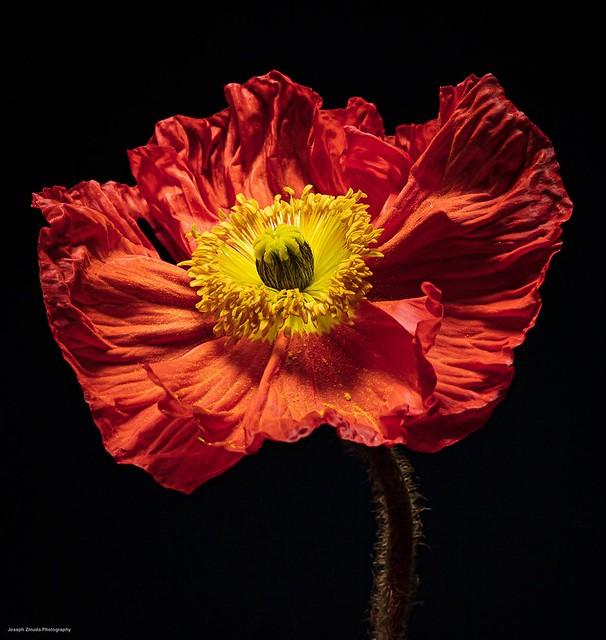 Blossoming Poppy.