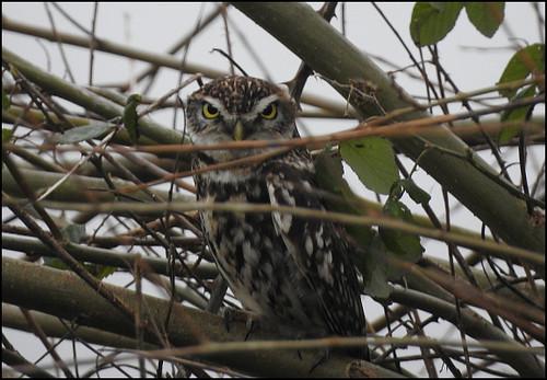 little-owl-240220