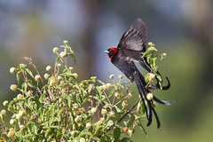 D38K61356135 Red-Collared Widowbird, Euplectes ardens.