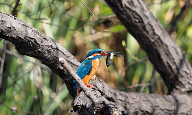 Common kingfisher (Alcedo atthis, 川蝉, カワセミ)