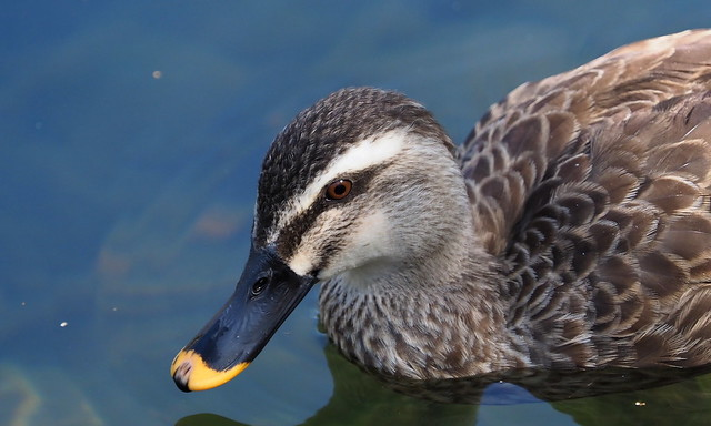 Eastern spot-billed duck (カルガモ)