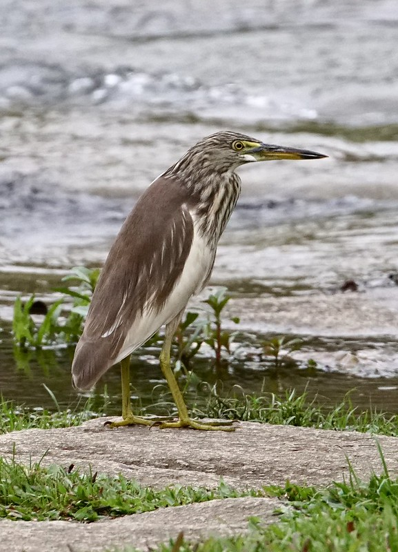 Indian pond heron at Bishan-Ang Mo Kio Park, Singapore 6 March 2020.  Sony A6500/Canon EF 70-300mm f4-5.6L IS USM.