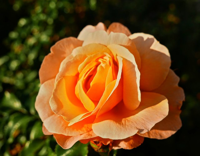 A sunny rose for a sunny mind