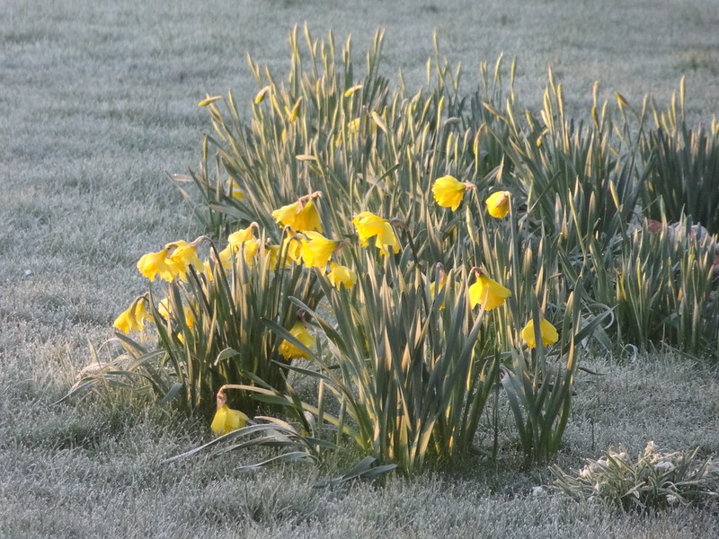 Frosty Morning Daffodils