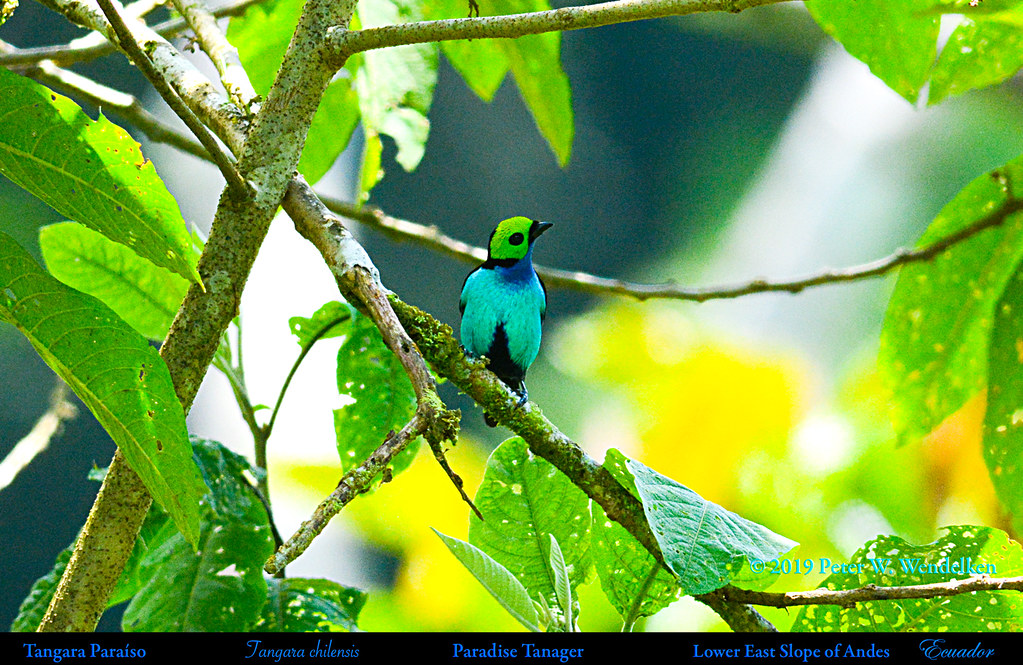 PARADISE TANAGER Tangara chilensis on the Eastern Slope of the Andes in Ecuador. Photo by Peter Wendelken.