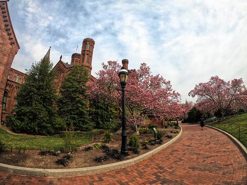 Magnolia Trees at the Castle in Washington, DC
