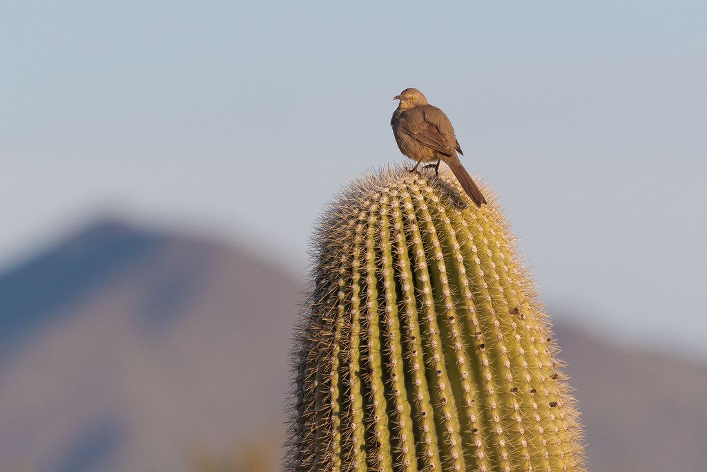 A curve-billed thrasher perches atop a saguaro with Brown's Mountain behind on the Latigo Trail in McDowell Sonoran Preserve in Scottsdale, Arizona in January 2020