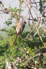 D38K61506150 Speckeld Mousebird, Colius striatus kikuyuensis.