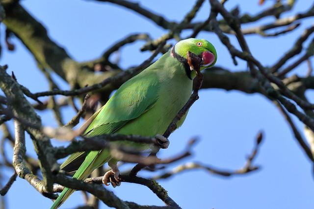 Rose-ringed Parakeet or Ring-necked Parakeet (Psittacula krameri)