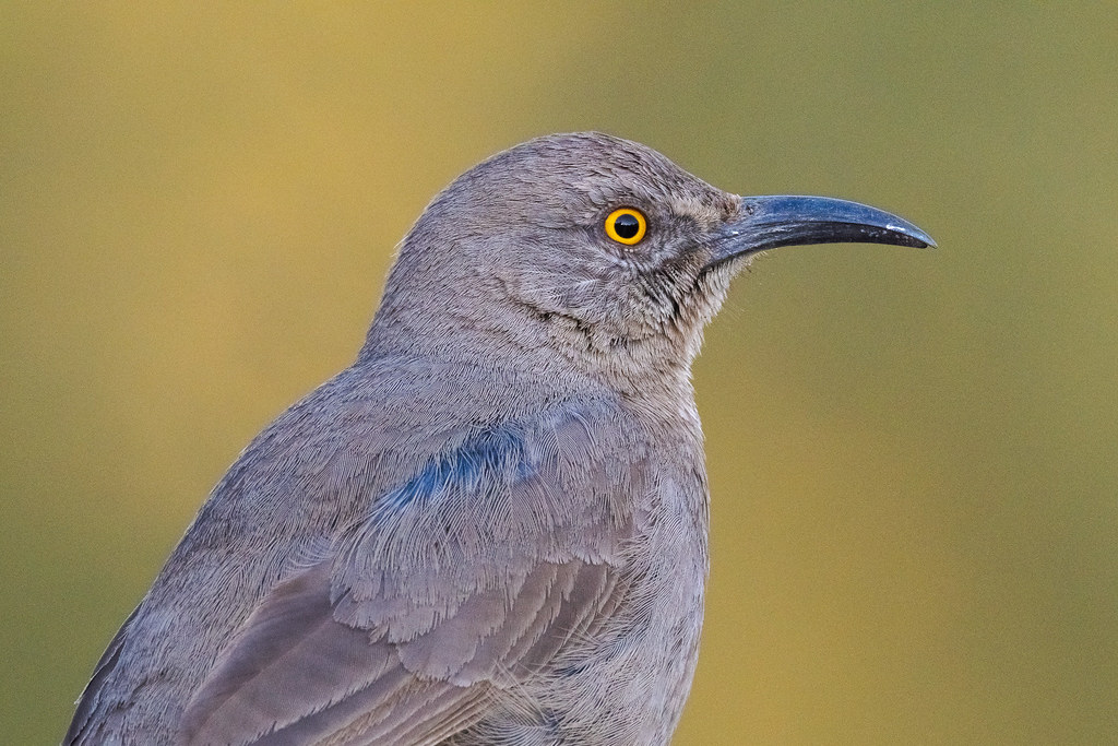 A close-up view of the head and body of a curve-billed thrasher as it sits on our fence in our backyard in Scottsdale, Arizona in February 2020