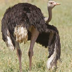 D38K63166316 Struisvogel, Ostrich, Struthio camelus massaicus.