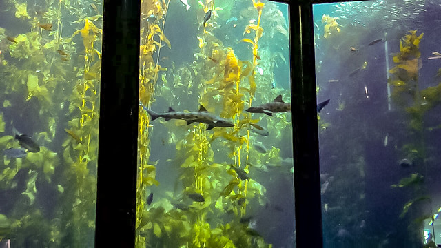 Leopard Sharks in the Kelp Forest at the Monterey Bay Aquarium, California