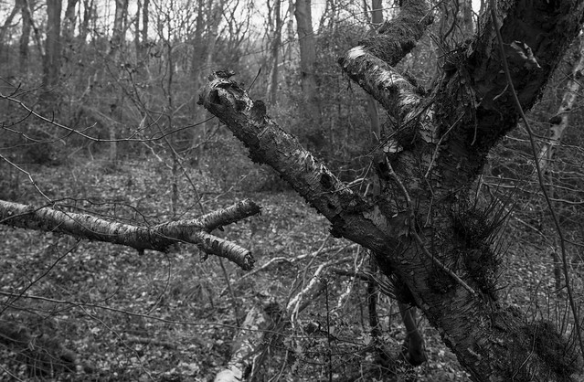 Hyons Wood, Walker Titan Sf with Wista 6x9 back and Nikkor 90mm, Ilford Delta 100 in Bellini Eco developer