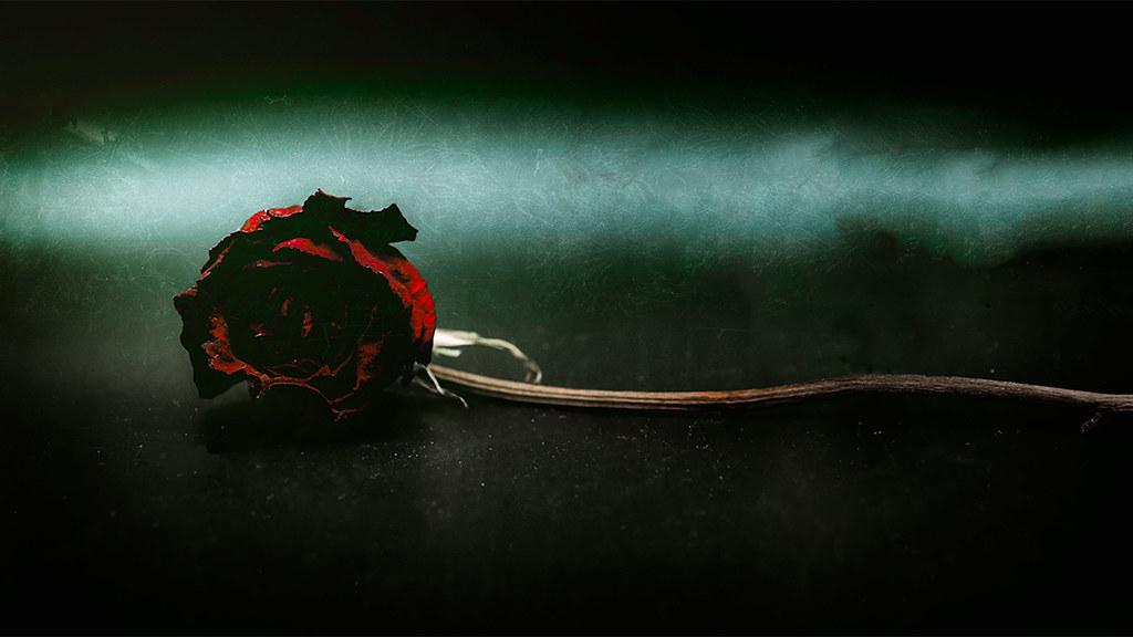 Macro rose - lightbox