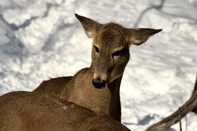 Cerf de Virginie -------- White-tailed deer  ------------   Ciervo de Virginia