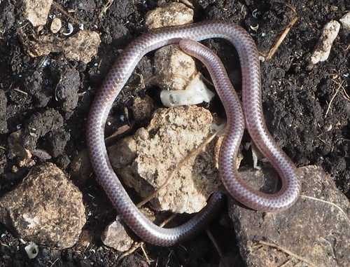 Texas Blind Snake, Rena dulcis | by J.J. Maughn