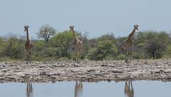 Giraffes - Etosha National Park