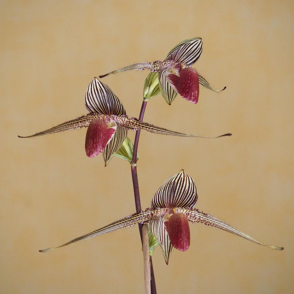 Paphiopedilum rothschildianum 49629088068_7fc14d7d12_b