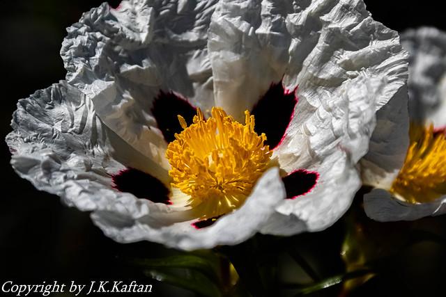 Macros of the Jara in Flower,  Macros de la Jara en Flor