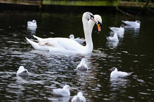 Dribbling swan pair (courtship dance)