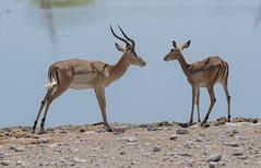 Antelopes - Etosha National Park