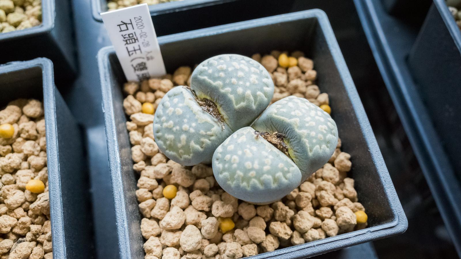 再次挑戰石頭玉 – 石頭玉 (D) 成長紀錄