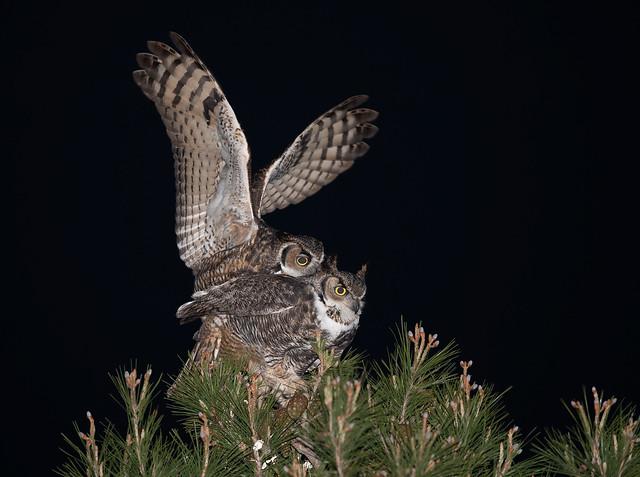 Owl Whoopie