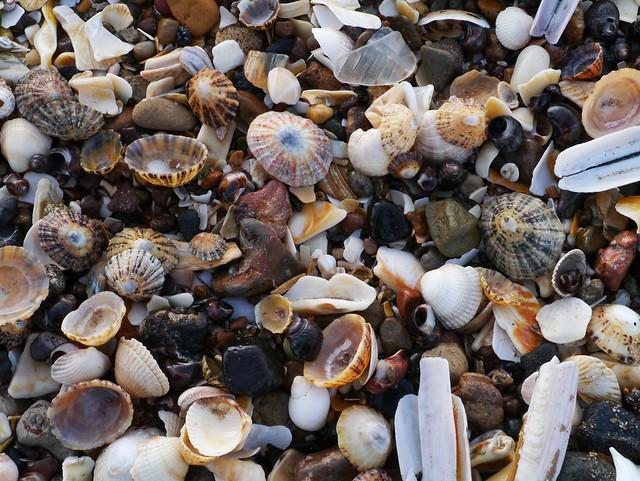 Gullane beach shells, East Lothian