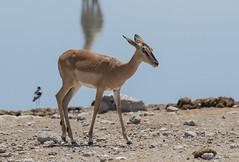 Antelope - Etosha National Park