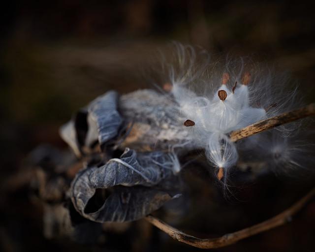 milkweed, in afternoon, 12-7-19 1
