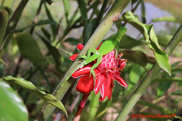Green Anole Lizard in the Torch ginger, Marina Waterland,  Suriname