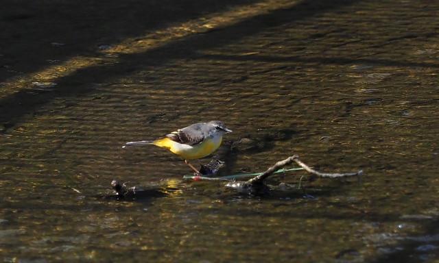 Grey wagtail (Motacilla cinerea, キセキレイ)
