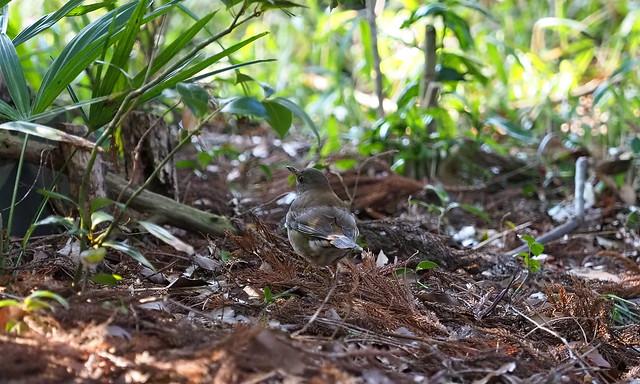 Pale thrush (Turdus pallidus, シロハラ)