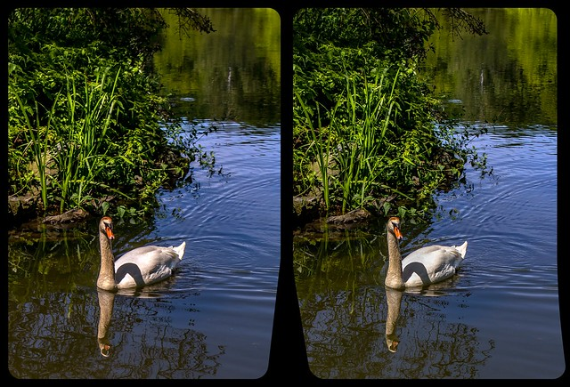 Schwan im Greizer Park 3-D / CrossView / Stereoscopy