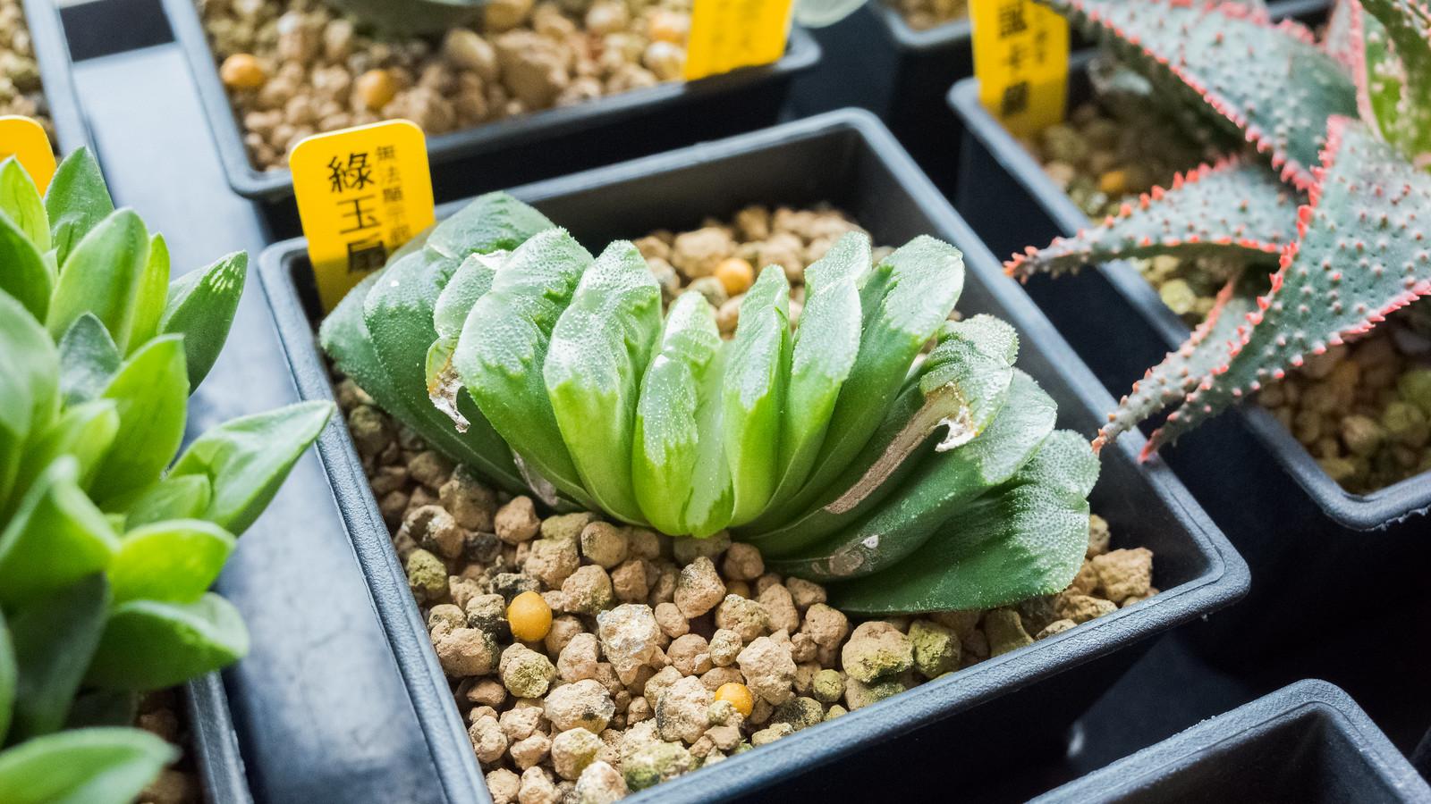 綠玉扇成長紀錄