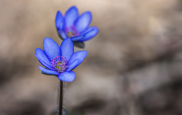Nemes májvirág (Anemone hepatica)